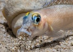 "Neolamprologus-ornatipinnis (From ""The Shell Dwelling Cichlids of Lake Tanganyika"")"