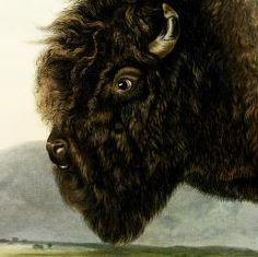John James Audubon's Birds of America and Viviparous Quadrupeds: Bos Americanus, Gmel. American Bison, or Buffalo (male). (v. 2, no. 12, plate 56); The viviparous quadrupeds of North America / by John James Audubon, F.R.S. &c. &c. and the Revd. John Bachman, D.D. &c. &c.
