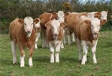 Simmental Cattle - Bing Images