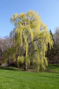 Not miniture pussy willow trees dayton ohio all
