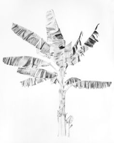 Musa Basjoo - The Japanese Banana Plant Charcoal on Paper 106 x 115 cm - Framed More details are at the bottom of this page Cornwall Art Gallery - North Coast Asylum