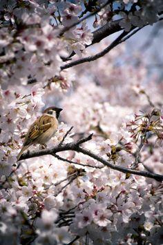 Sparrow among the Cherry Blossomsby Jon Lenzmeier