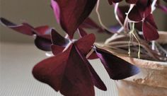 Szczawik trójkątny / Oxalis triangularis #roślina #plant