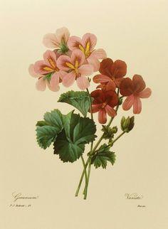 Vintage Geranium Decor, Bookplate Botanical Flower, Red Redoute Flowers Lithograph, Book Plate Illustration No. 46. $2.50, via Etsy.