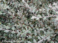 Salix glauca var. callicarpaea 'Haltia'. Paljakkapaju.