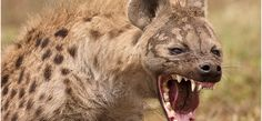 """Even in the wild, there seems to be a mutual respect among predator and prey. Animals tend to only kill what they need and do so a quickly and """"humanely"""" as possible. But the Hyena does not play by this rule. Hyenas are extremely dangerous wild animals. They aren't afraid of anything, hunt in gangs, …"""