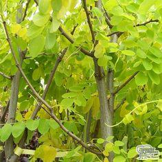 Buy Robinia pseudoacacia Frisia (False Acacia) online from Jacksons Nurseries Deciduous Trees, Flowering Trees, Acacia, Purple Flowers, White Flowers, Specimen Trees, Root System, Yellow Leaves, Organic Matter