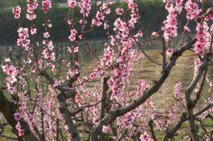 fiori rosa fiori di pesco ..