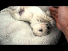 Is this the cutest puppy in the world? Might be.    Enjoy the video!      Happy is Maltese & Daschund mix.