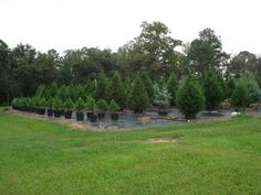 Living-Christmas-Trees-Beavers farm in Alabama