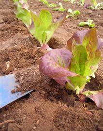Pflanzzeiten für Gemüse, was ist wann im Jahr zu tun? Mischkulturen