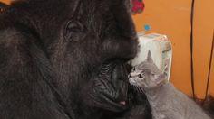 Koko the gorilla and her new kittens on birthday