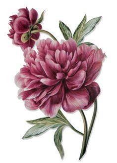 I love the layout of these 2 peonies, might want something similar for my tattoo. I like these petals as well, but the color is a bit too dark. PaperWhimsy :: Hybrid Images-Digital Artists :: View All :: Botanique 14 PNG Vintage Botanical Prints, Botanical Drawings, Arte Floral, Botanical Flowers, Botanical Art, Flower Prints, Flower Art, Peony Flower, Flower Ideas