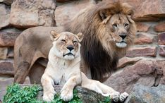 Curious Kids: 'I would like to know why man lions have manes and lady lions don't' Baby Lion Cubs, Fort Worth Zoo, Curious Kids, Male Lion, Cat 2, Big Cats, Art Pictures, Pet Birds, Lions