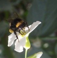 Abelhas nativas sem ferrão: abelha jataí