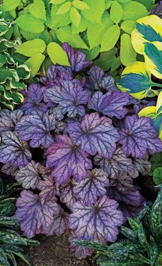 Dolce Blackberry Ice heuchera has a wonderful coloration of purple leaves with a silver overlay. A nice compact plant for the front of your perennial bed.