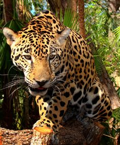 Leopard. All Five Types Of Big Cat (Lions and Relatives)