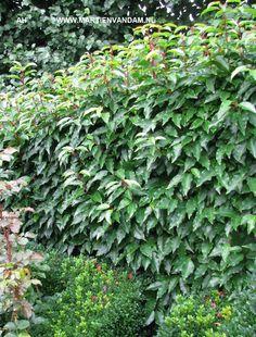 Prunus lusitanica = portugese laurierkers, bloeit wit in mei juni. Groenblijvende heester tot 2.5 m. hoog, kan goed als haag gebruikt en gesnoeid worden. Kan op alle gronden, enigszins windgevoelig.