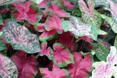 How to Plant Caladium Bulbs | Garden Guides