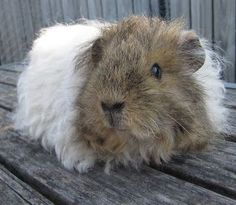 All Things Guinea Pig: Breeds and Varieties                                                                                                                                                                                 More