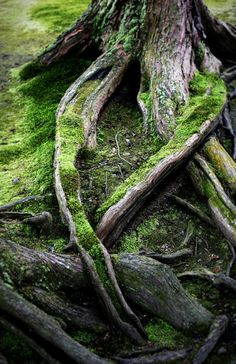 beautiful mossy roots