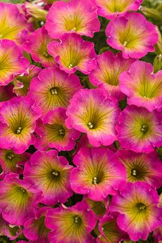 Sweeten up your summer with the brilliant blooms of Supertunia Daybreak Charm. This plant bears loads of watermelon pink flowers with a sunshine center. Imagine this in your hanging baskets this season!