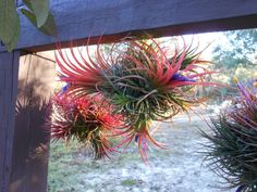 Air Plant // Variety Ionantha Balls Unique by TheLivingArt