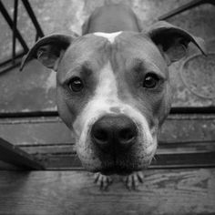 Miles the American Staffordshire Terrier on Puppystream.me