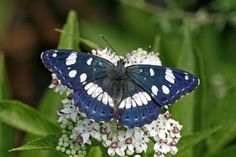 The Southern White Admiral (Limenitis reducta) is a butterfly of the Nymphalidae family. Description from pinterest.com. I searched for this on bing.com/images