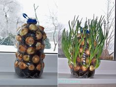 Growing onions on your windowsill