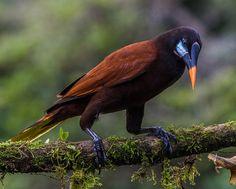Montezuma Oropendola (Psarocolius montezuma)   by NigelJE