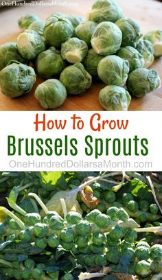 Dig for Your Dinner - Growing Brussels Sprouts from Seed - One Hundred Dollars a Month Perennial Vegetables, Growing Vegetables, Planting Vegetables, Growing Sprouts, Organic Vegetables, Organic Gardening, Gardening Tips, Gardening Gloves, Gardening Supplies