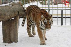 В барнаульском зоопарке тигр напал на школьницу, которая решила его подразнить. Ребенка госпитализировали с рваными ранами обеих ног