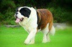 """Résultat de recherche d'images pour """"perros san bernardo"""""""