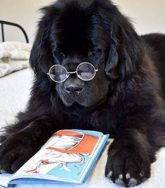 Why do you think dogs should worry about the coronavirus? To make your day better we collected 16 positive pictures of Newfoundlands here. Cute Puppies, Cute Dogs, Dogs And Puppies, Doggies, Terranova Dog, Go Dog Go, Baby Animals, Cute Animals, Terra Nova