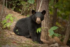 Young black bear in the Smoky Mountains