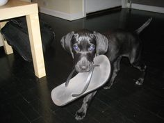 Cooper the German Shorthaired Pointer from doggyloot!