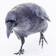 "June Hunter (@junehunterimages) on Instagram: ""Raven, incoming!"