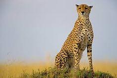 guepardo - Pesquisa Google