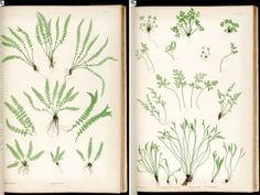 ferns of great britain and ireland by thomas moore