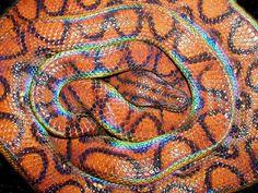 Rainbow Boa (Epicrates Cenchria.)