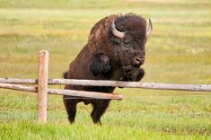 Bison Jump | It is an amazing thing to watch a 2000lb animal… | Flickr - Photo Sharing!