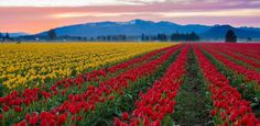 Skagit Valley, Washington is one of the most colorful places in the United States. The state's annual tulip festival takes place during the month of April--and gives the Dutch some serious competition.