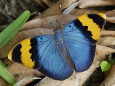 The Gold-banded Forester (Euphaedra neophron)