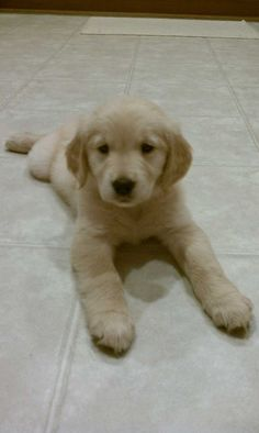 golden retriever #puppy - This one. I want to sleep with him. My husband won't mind, right?: