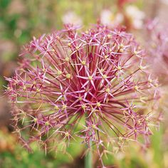 Cristophii: A star-shape, silver pink bloom that flourishes in full sun and well-drained soil.