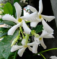 Trachelospermum jasminoides, Jasmim-estrela, Jasmim-de-leite, Jasmim-brilhante