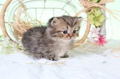 Tea Cup Munchkin Persian Kitten  at maturity its legs are 2 inches long and it weighs 4-6lbs.