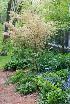 Deck with a creamy maple tree (Acer 'Butterfly') and a perfect spring under-planting...