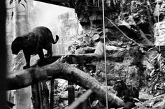 Wild but Not Free - Viviana Peretti (Italian) • Black Panthers in a habitat at the Bronx Zoo